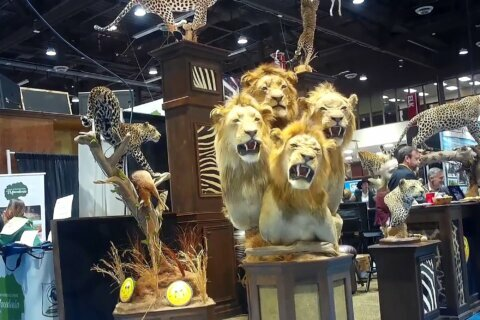 Penned lions still on offer at US trophy hunting convention