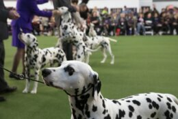 Dalmatians compete at the 144th Westminster Kennel Club dog show, Monday, Feb. 10, 2020, in New York. (AP Photo/Mark Lennihan)