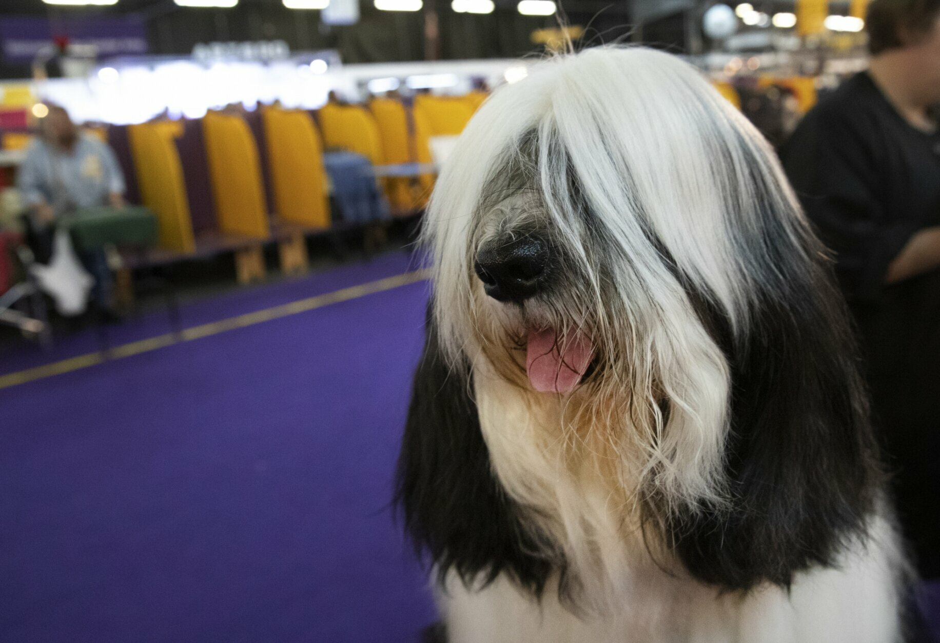 Baker, a Tibetan Terrier, is ready to compete in the 144th Westminster Kennel Club dog show, Monday, Feb. 10, 2020, in New York. (AP Photo/Mark Lennihan)