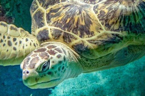 Baltimore Aquarium sea turtle 'Calypso' dies suddenly
