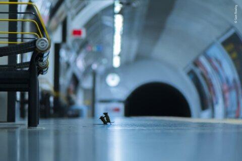 Photo of mice squabbling on subway wins prestigious photography award