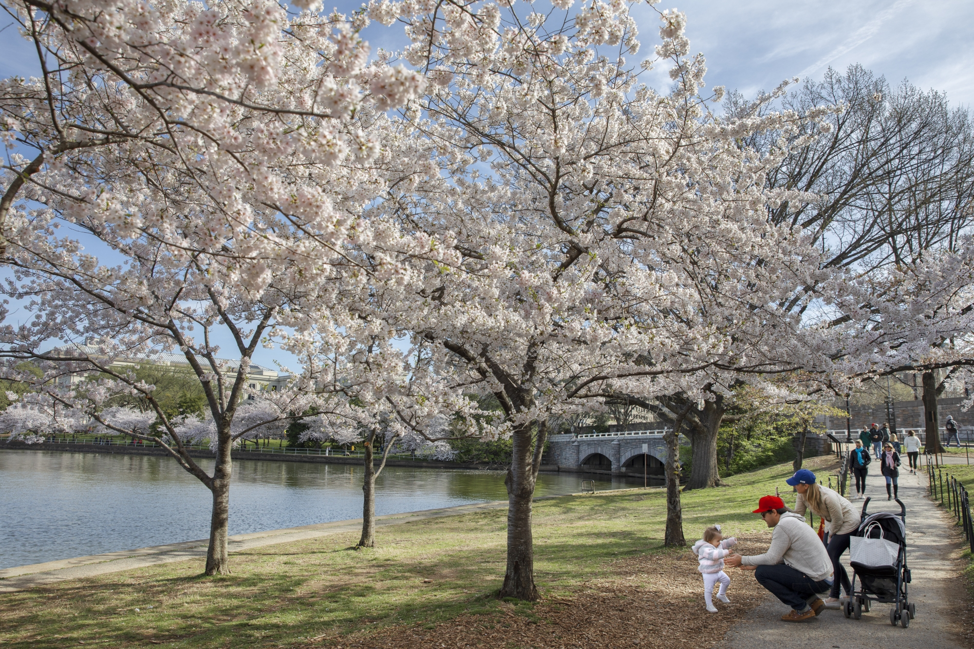 2021 National Cherry Blossom Festival Dates Artwork And Virtual Plans Wtop
