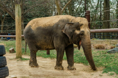 Third-oldest Asian elephant in North America dies at National Zoo
