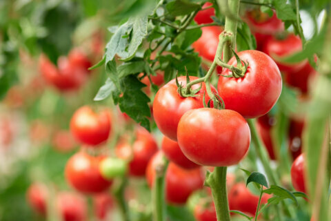 Garden Plot: As Graham Nash sang — 'mulch your tomatoes well'