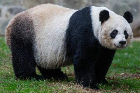 National Zoo's giant panda Mei Xiang could be pregnant