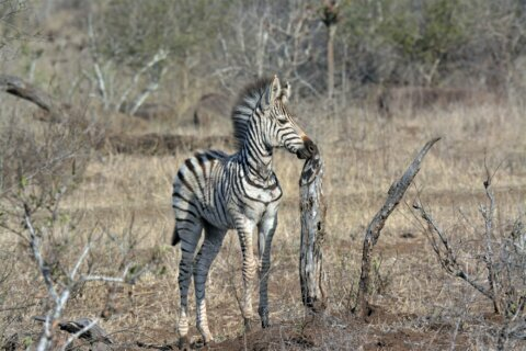 5 zebras that escaped in Prince George's Co. a month ago still loose