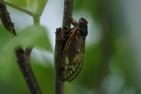PHOTOS: Cicadas on the crawl around DC area
