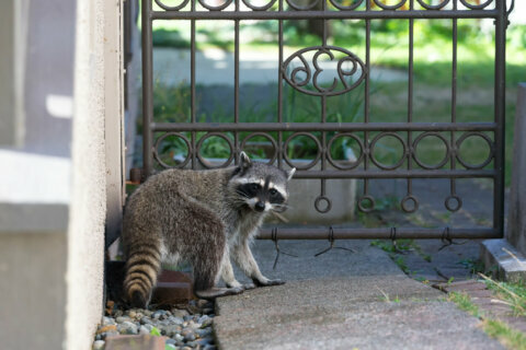 Raccoon bit child and dog in Rockville, police say