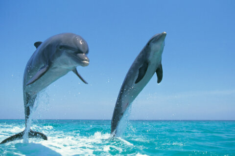 Have an affinity for dolphins? Help researchers study them in the Chesapeake Bay