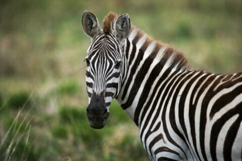 Zebras are being used to lure missing zebras back home