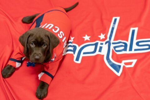 Capitals introduce new service dog in training 'Biscuit'