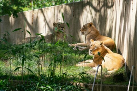 3 lions still dealing with aftermath of COVID-19 infections at Smithsonian National Zoo