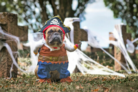Free dog costume contest with 'Halloween Best in Show' at The Boro in Tysons